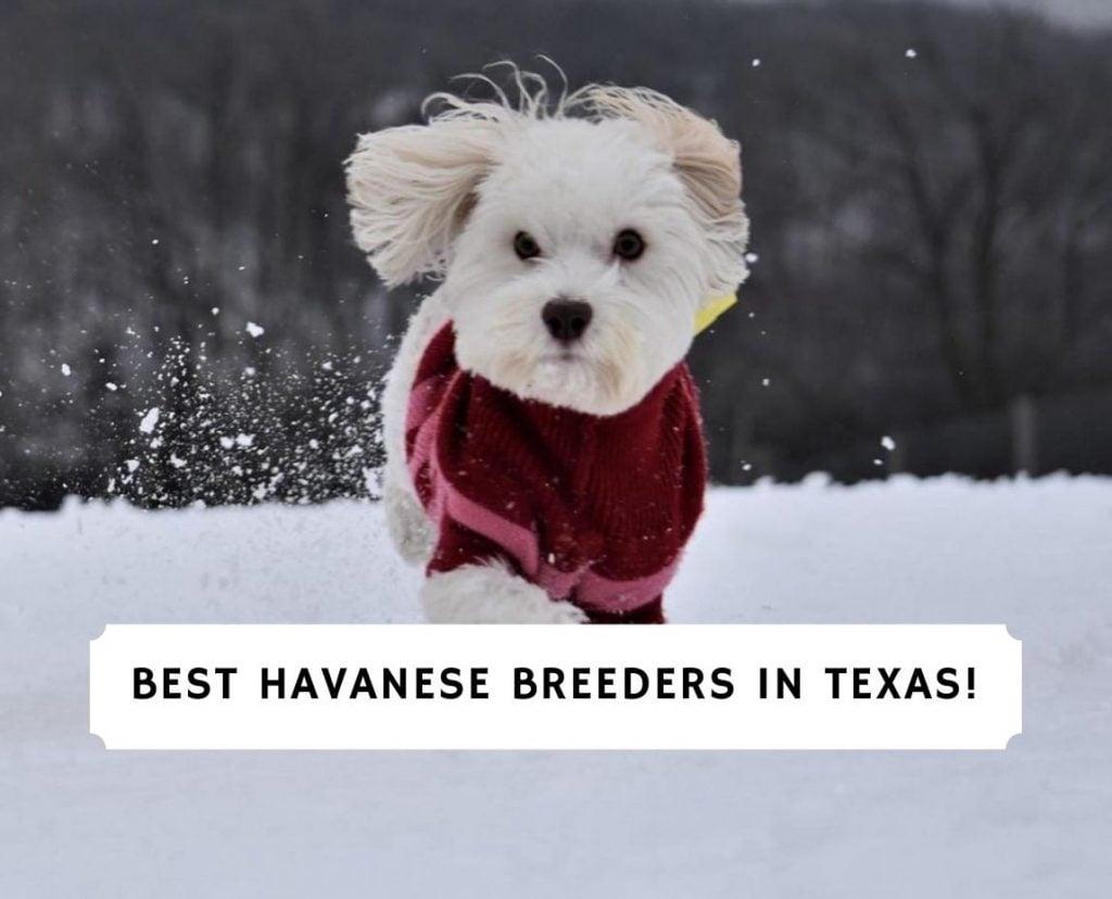 Havanese Breeders in Texas
