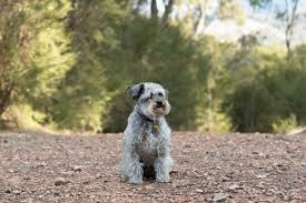 Schnoodle puppy Cost