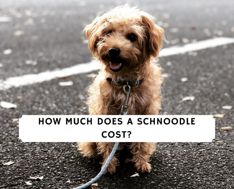 How Much Does a Schnoodle Cost_