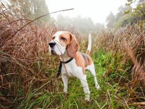 How to Choose the Right Hunting Dog for You