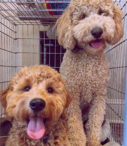 Kennel for a Goldendoodle puppy