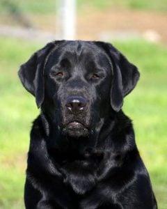 Labrador puppies for sale in Texas