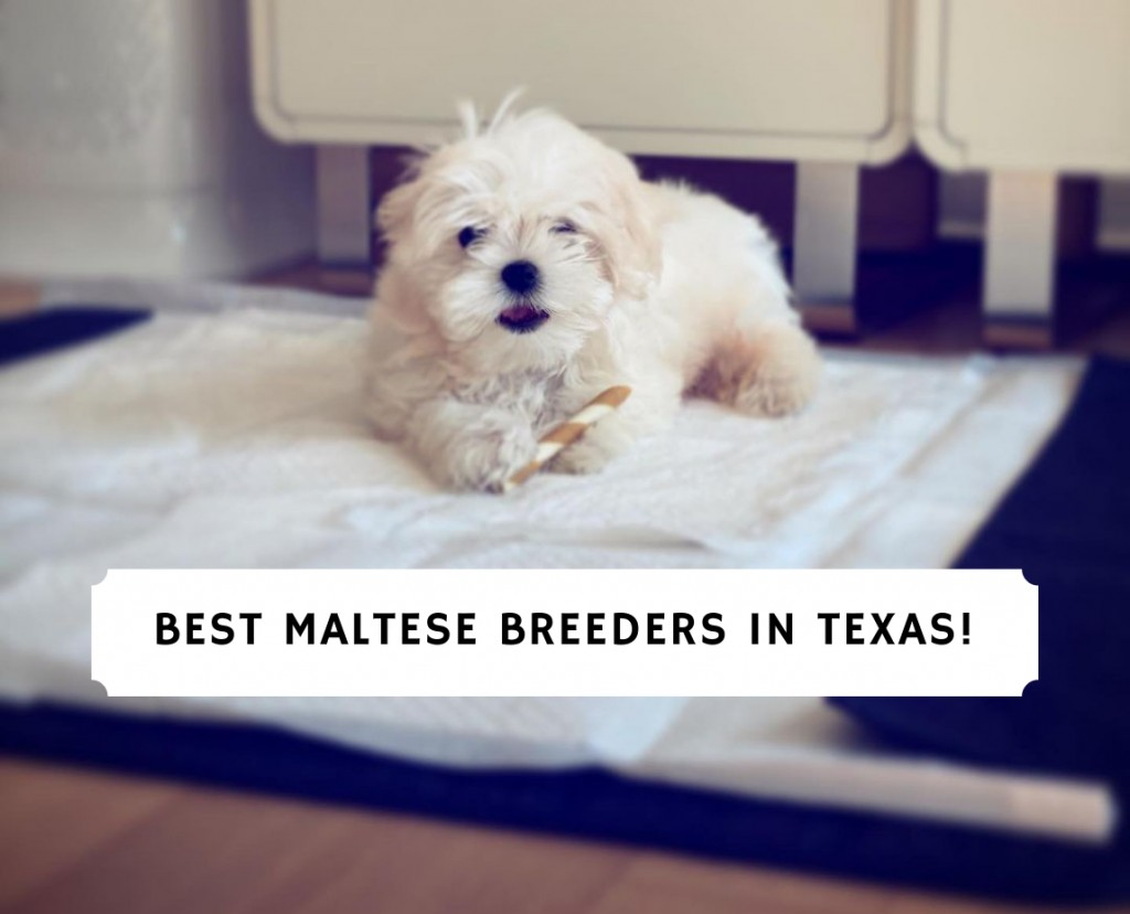 Maltese Breeders in Texas