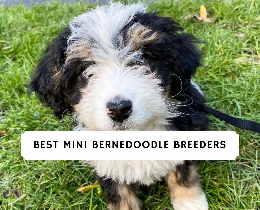 Mini Bernedoodle Breeders