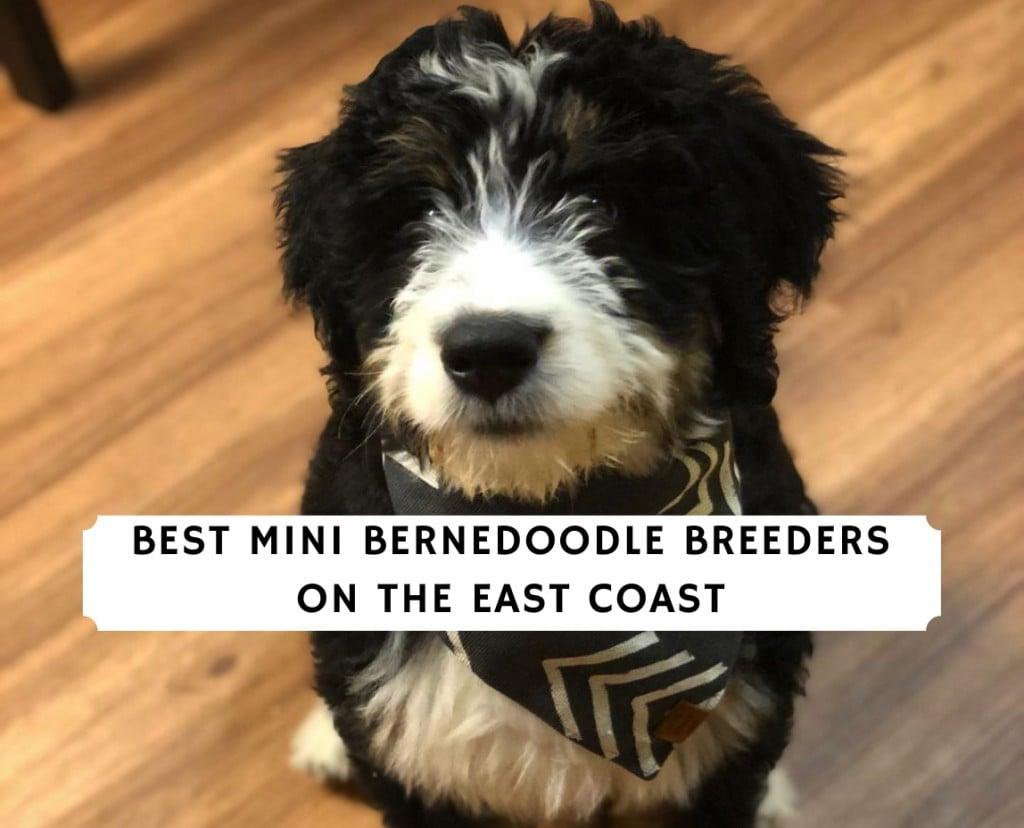 Mini Bernedoodle Breeders on the East Coast