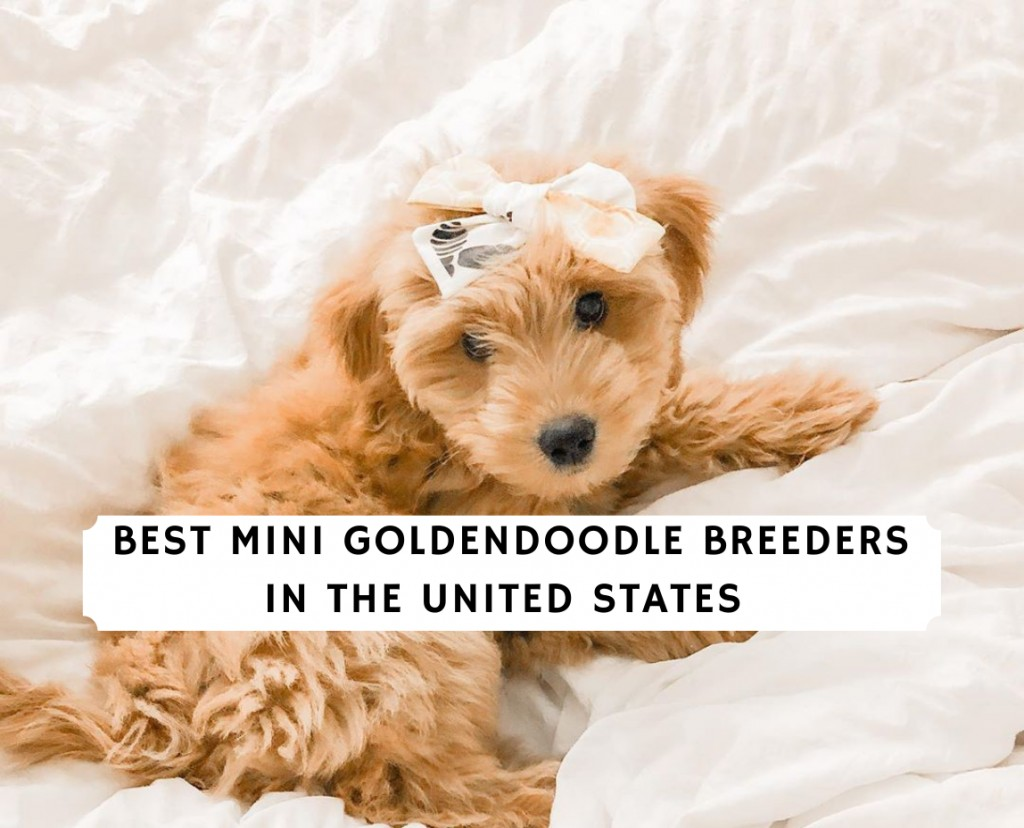 Mini Goldendoodle Breeders in the United States