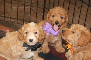 Mini Goldendoodle Puppies in the United States