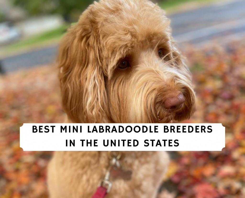 Mini Labradoodle Breeders