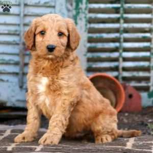 Mini Labradoodle Puppies in the United States