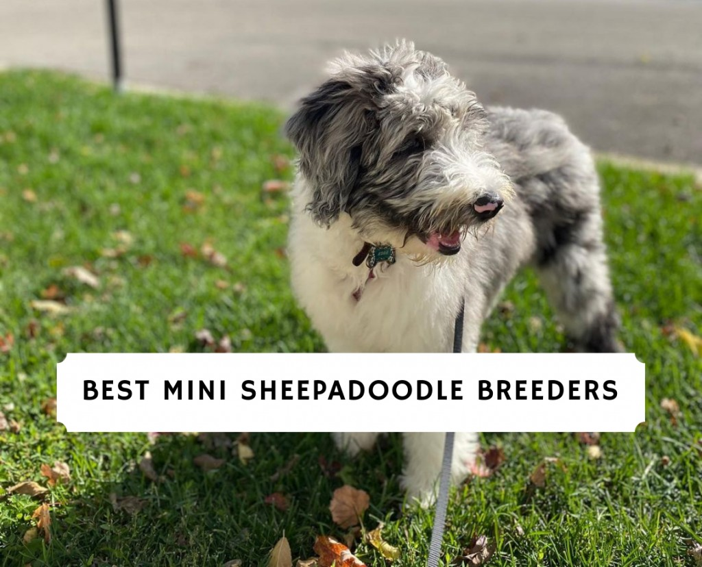 Mini Sheepadoodle Breeders on the East Coast