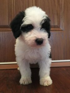 Mini Sheepadoodle Breeders in the East Coast