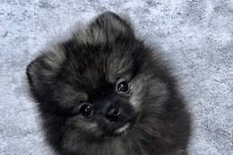 Mosaic Pomeranians