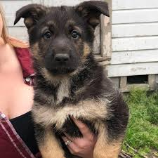 North Carolina German Shepherd Rescue