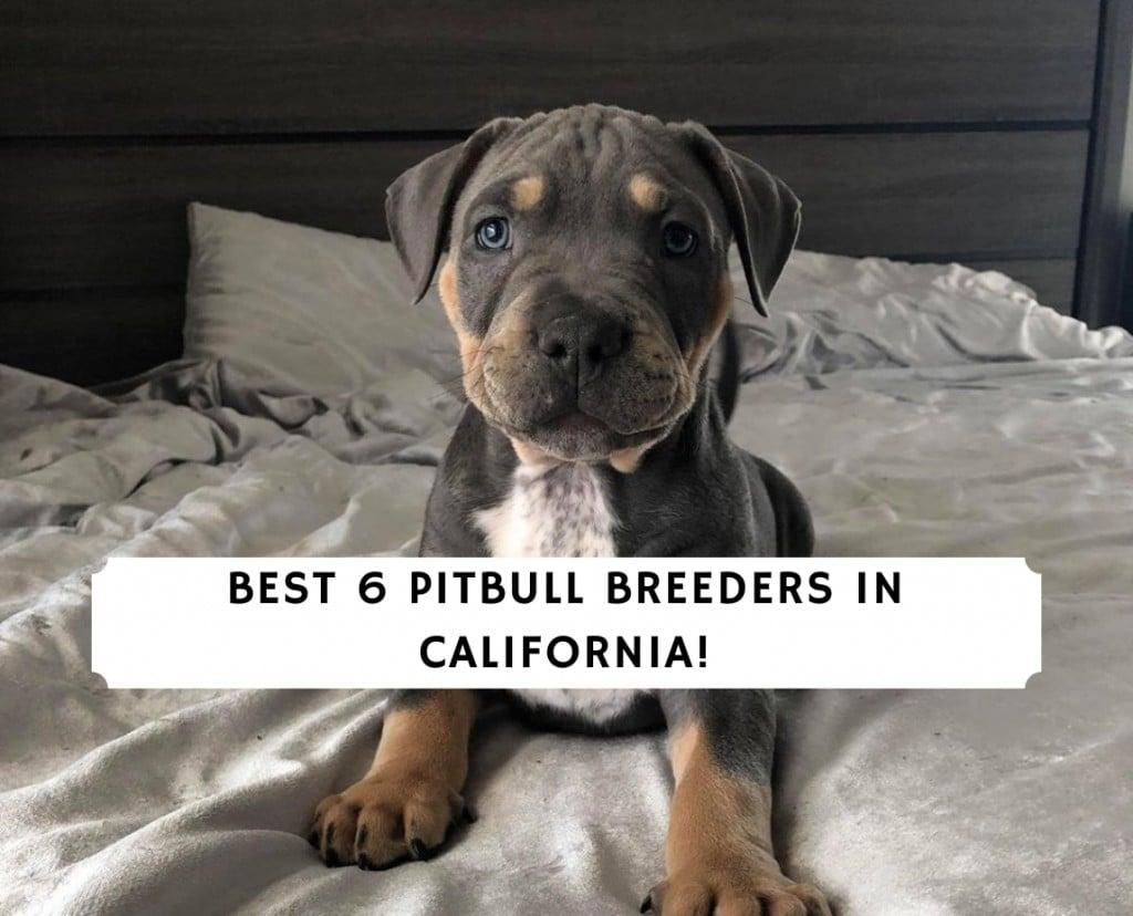 Pitbull Breeders in California