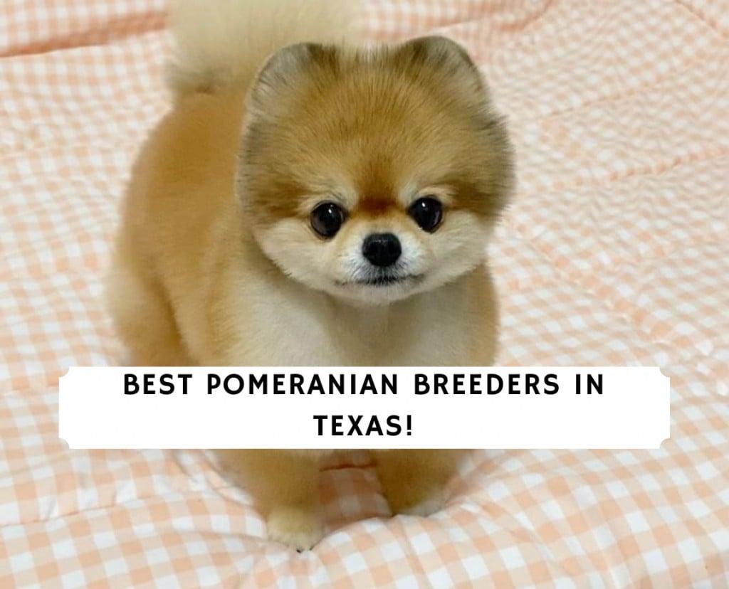 Pomeranian Breeders in Texas
