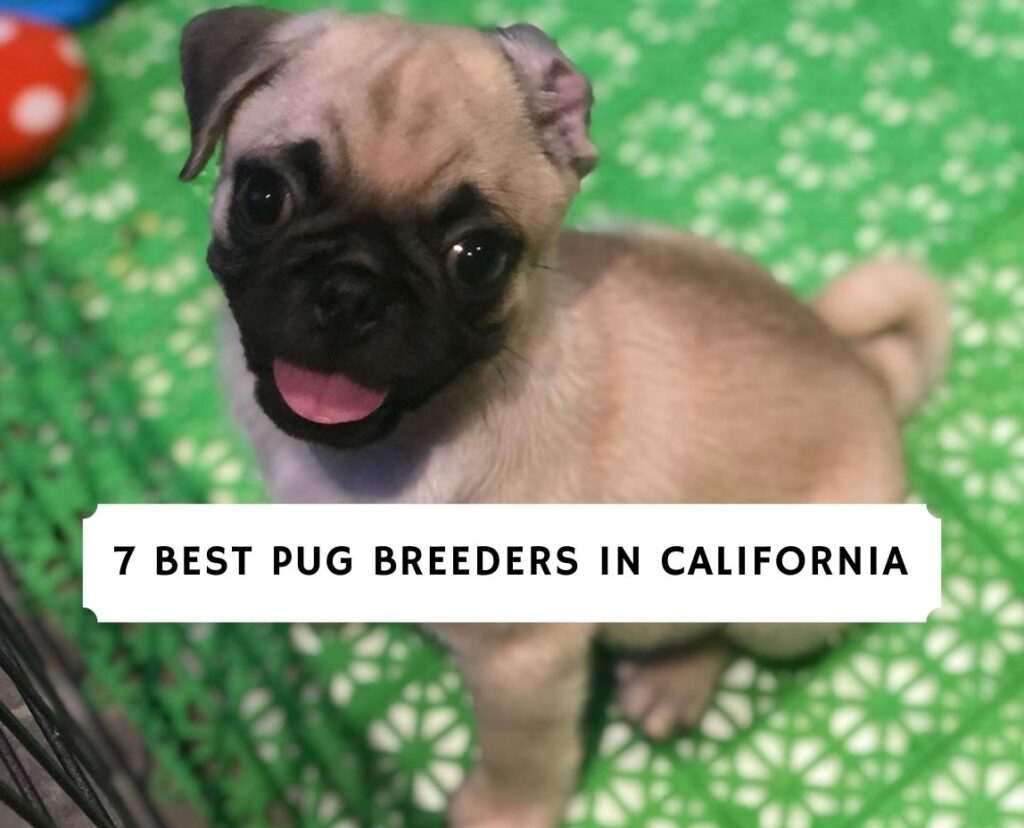 Pug Breeders in California