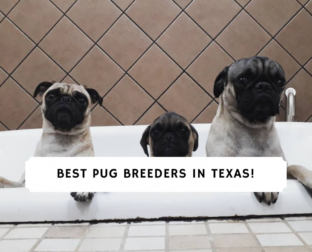 Pug Breeders in Texas