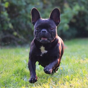 PuppySpot French Bulldogs Texas