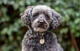 Purchasing a Schnoodle