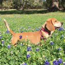 Quail Ridge Pocket Beagles Texas