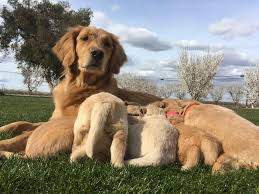 Rooster Valley Goldens