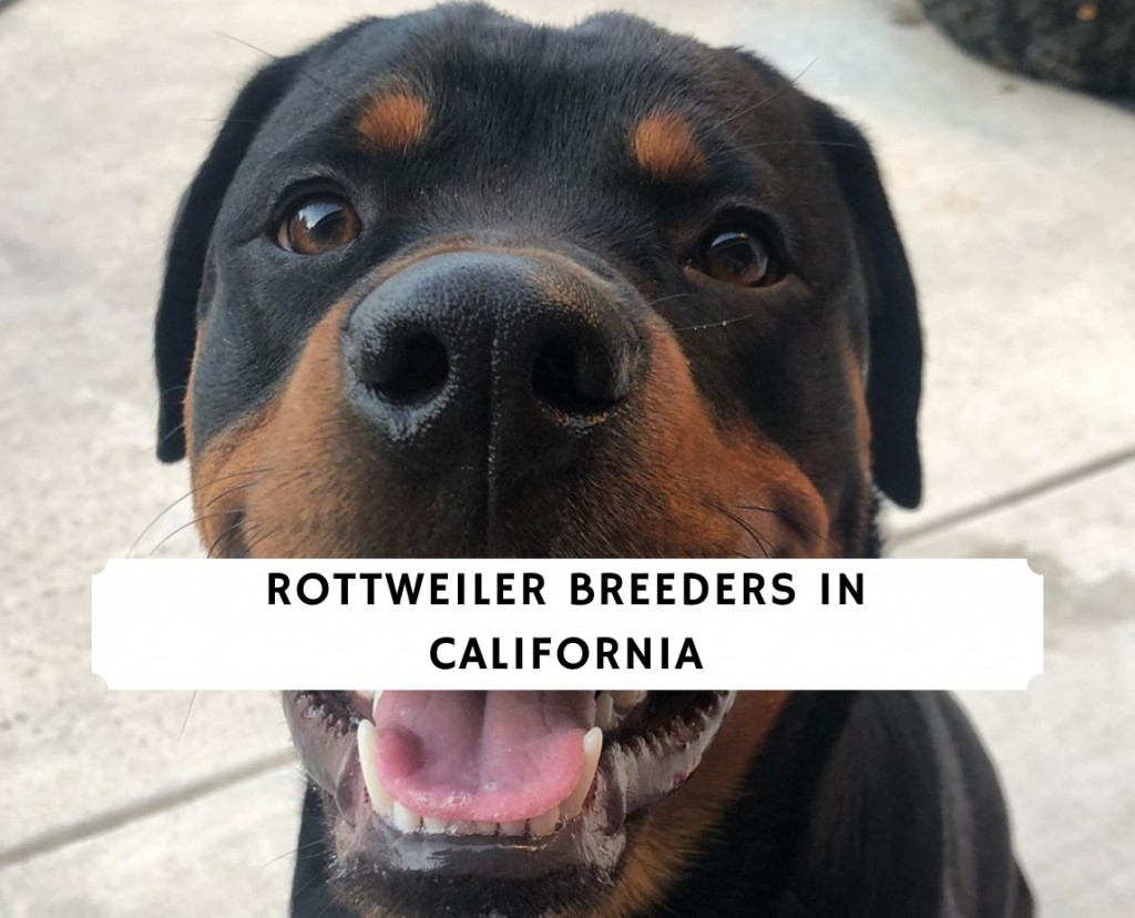 Rottweiler breeders in california