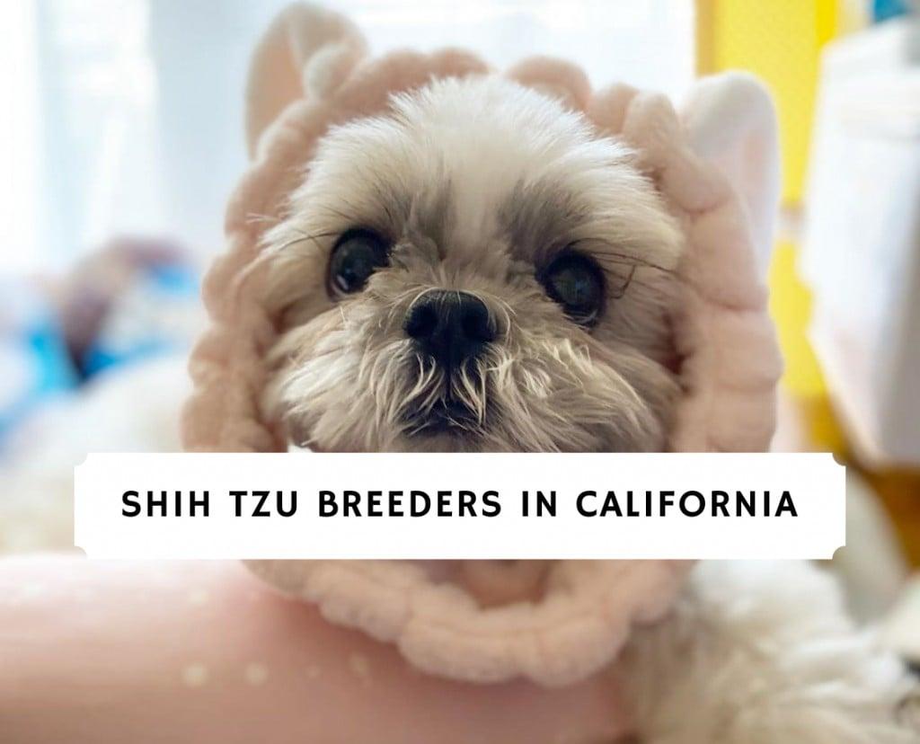 Shih Tzu Breeders in California