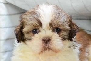 Shih Tzu puppies in California