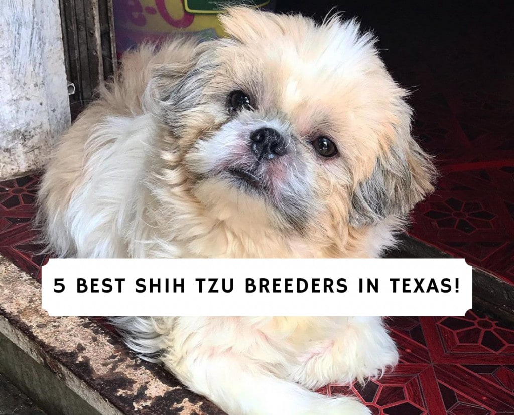 Shih Tzu Breeders in Texas