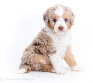 Types of Aussiedoodle Colors