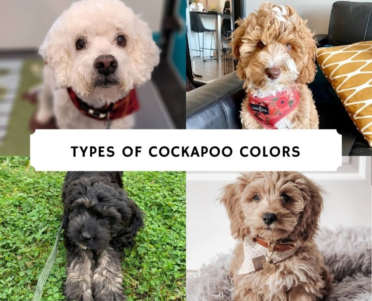 Types of Cockapoo Colors