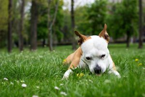What To Do If Your Dog Won't Stop Eating Grass