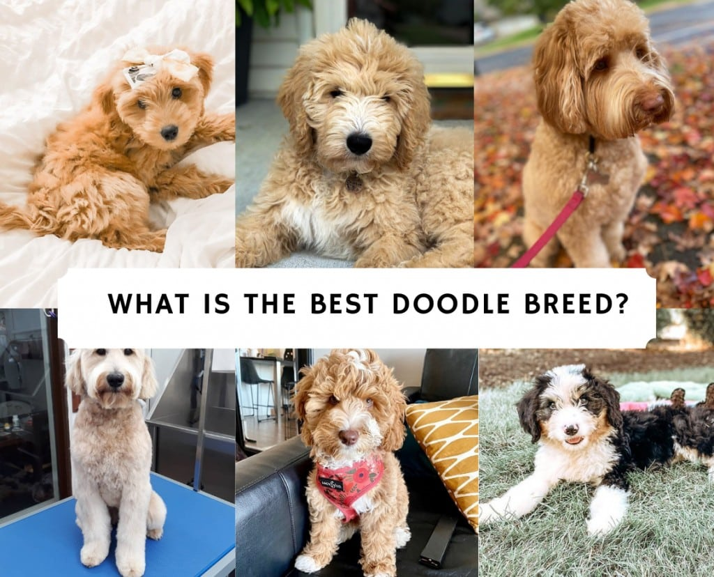 What is the Best Doodle Breed?