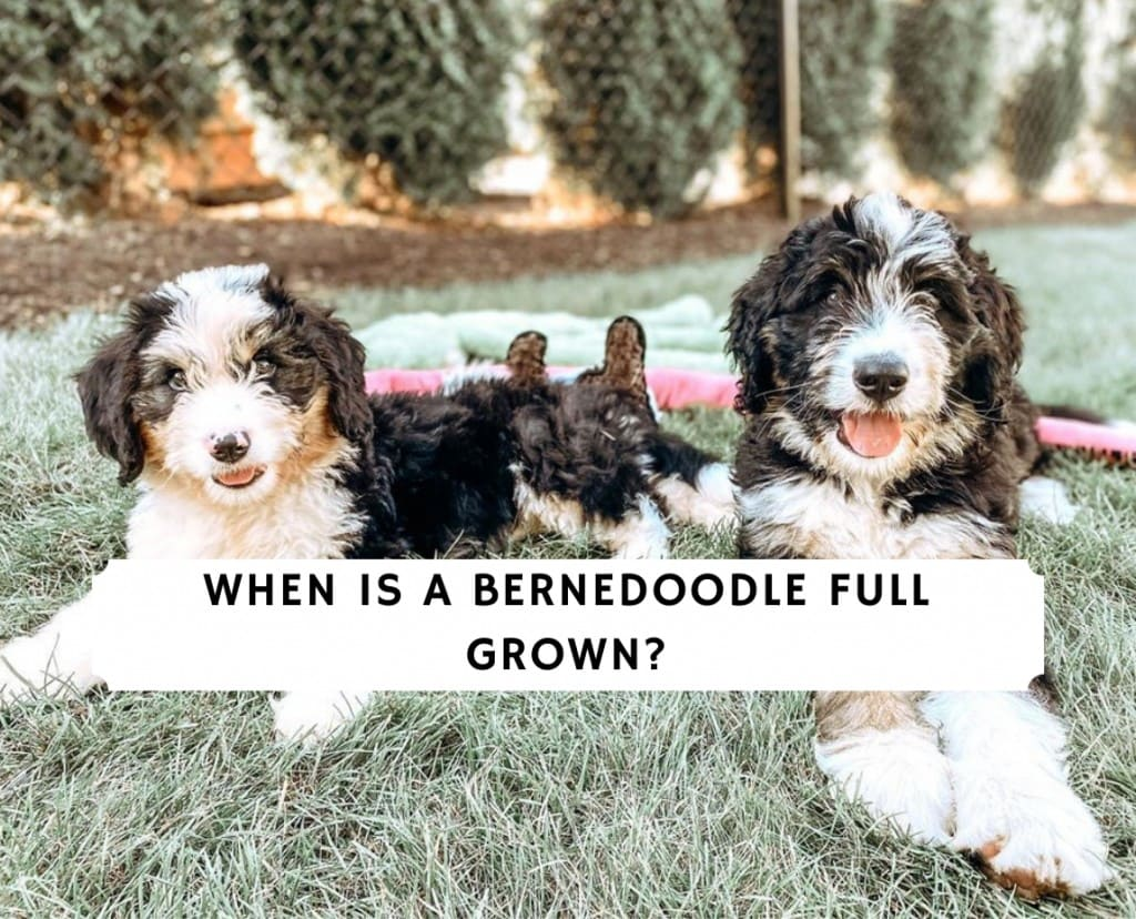 When is a Bernedoodle Full Grown_