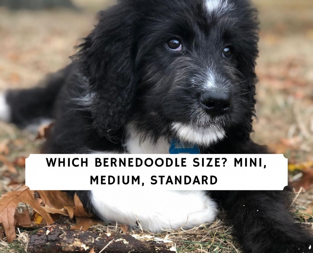 Which Bernedoodle Size_ Mini, Medium, Standard