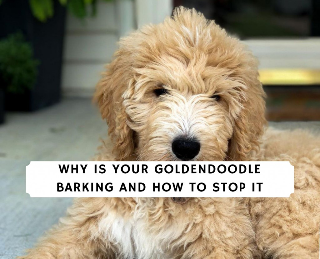 Why is Your Goldendoodle Barking