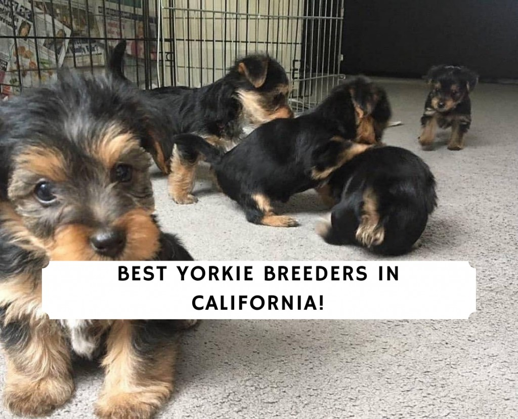 Yorkie Breeders in California