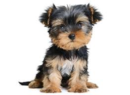 Yorkie puppies in California