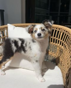 australian shepherd puppy texas
