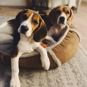 beagle puppies for sale texas