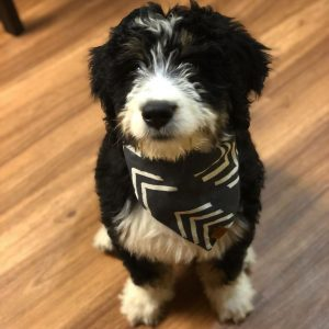 bernedoodle puppies for sale east coast