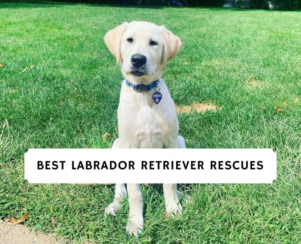 best Labrador Retriever Rescues