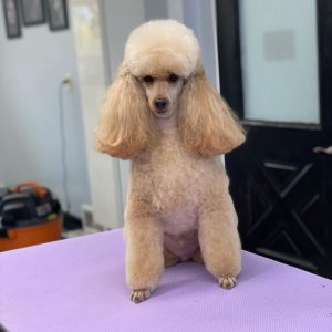 best andis clippers for poodles