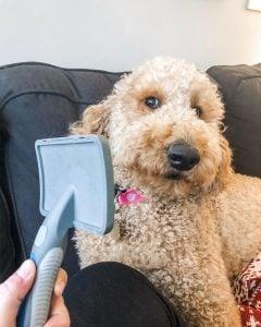 brush for Australian Labradoodle