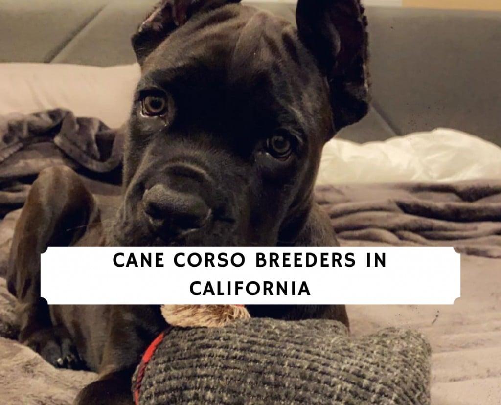 cane corso breeders in california