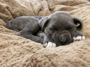 cane corso puppies for sale texas