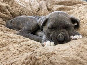 cane corso puppies for sale texas