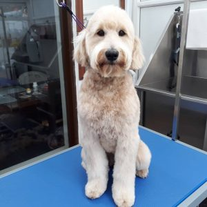 clippers for australian labradoodle