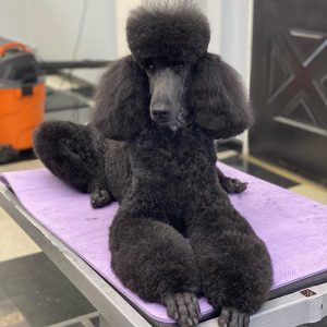 clippers for poodle coat