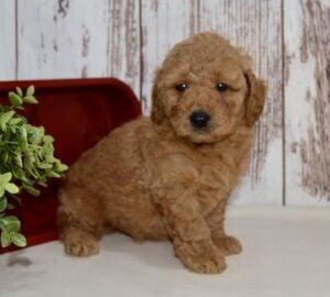 creekside puppy adoption mini goldendoodles